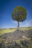 rockowy lawy TARGET2328_1_ drzewo im Obrazy Stock