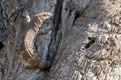 Rockowy monitor (Varanus albigularis) Obrazy Stock