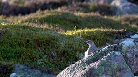 Rockowy ptarmigan, Lagopus muta, siedzi na halnym skłonie w cairngorms NP podczas jesieni, Październik zbiory wideo
