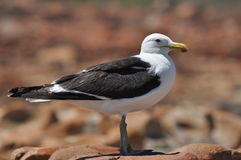 rockowy seagull obraz royalty free