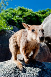Rockowy wallaby, Magnesowa Wyspa, Australia zdjęcie royalty free