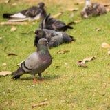 Rockowy zdziczały gołębi gołąbek odpoczywać Zdjęcie Stock