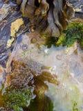 Rockpool -海草和海洋蜗牛 库存图片