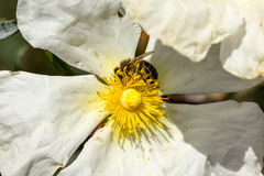 Rockrose blanc avec l'abeille sur elle 2 images libres de droits