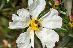 Rockrose blanc avec l'araignée de ND de beea sur elle 4 photographie stock libre de droits