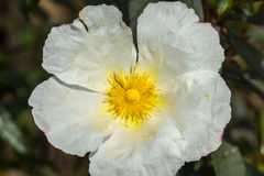 Rockrose blanc regardant fixement le soleil 3 photographie stock libre de droits