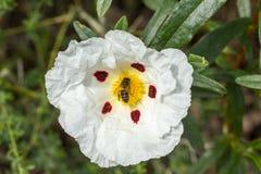Rockrose blanco con la abeja encima de ella Imagen de archivo