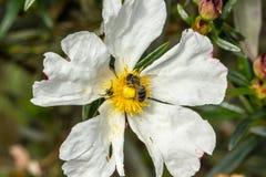Rockrose blanco con la araña del nd del beea encima de ella 4 Fotografía de archivo libre de regalías