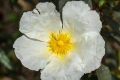 Rockrose blanco que mira fijamente el sol 3 Fotografía de archivo libre de regalías