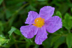 Rockrose, Cistus incanus Royalty Free Stock Images