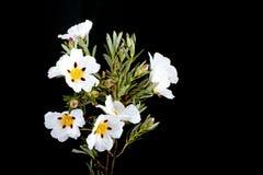 Rockrose de la goma - ladanifer del Cistus Imagen de archivo libre de regalías