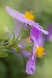 Rockrose flowers of Cistus Royalty Free Stock Image
