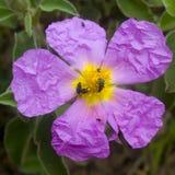 Rockrose púrpura Foto de archivo libre de regalías
