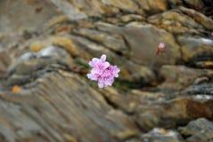 Between rocks. A pink flower between rocks rn Stock Image