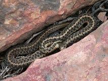 Between the Rocks. Garter Snake Royalty Free Stock Photos