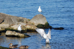 On the Rocks. Seagull and mallard ducks enjoying the warm morning sunshine Stock Photography