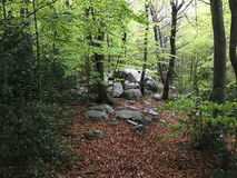 Rocks in a beech forest. Royalty Free Stock Photography