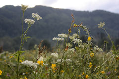 Rocks behind wild flowers. Mountain clouds sky flowers rock forest Royalty Free Stock Images