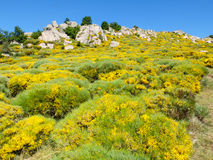 Rocks and blooming brooms in the Cevennes mountains, France Royalty Free Stock Images