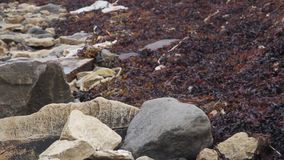 Brown plant dulse in seashore stock footage