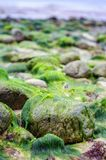 Rocks covered in seaweed by the beach in denmark. Northern Zealand Stock Images
