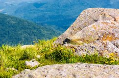 Rocks on the edge of a grassy hillside. Yellow dandelions among the rocks. beautiful nature scenery in mountains stock photography