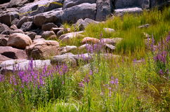 The rocks and flowers are for the artist eyes Royalty Free Stock Image