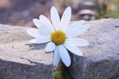Between Rocks. A fragile flower grows between rocks stock photos