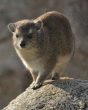 Rocks hyrax (Procavia capensis) Royalty Free Stock Image