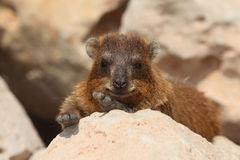 Rocks hyrax (Procavia capensis) Royalty Free Stock Photography