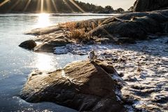 Rocks and Ice. Jack Russel Terrier on rocks surrounded by ice on a sunny winter day Royalty Free Stock Photo