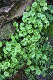 Rocks, Miner's Lettuce, Moss Stock Image