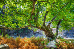 Rocks with moss and autumn in an old beech forest samothraki Royalty Free Stock Photos
