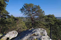 Rocks and pine tree in Fontainebleau forest royalty free stock image