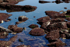 Rocks with red algae at low tide. Zoom on rocks covered with red algae at low tide, with nice weather royalty free stock photos