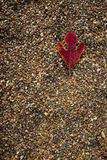 On the rocks. Red Sassafras leaf lying on a background of pea gravel royalty free stock photography