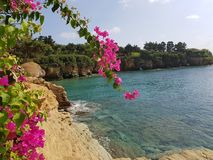 Rocks, sea, bay, cape overgrown with pines, pink flowers royalty free stock image