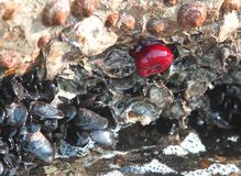 Rocks of the sea with a Red Sea tomato and mussels Stock Photos