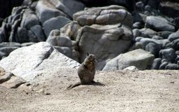Rocks and squirrel at Monterrey Bay area enjoying a nibble. Stock Images