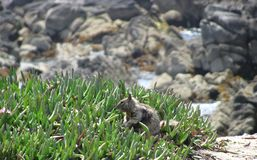 Rocks and squirrel at Monterrey Bay area enjoying the outdoors. Stock Photo