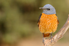 Rocks Thrush Stock Photography