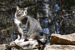 Cat. On rocks, tiger striped pet royalty free stock photos