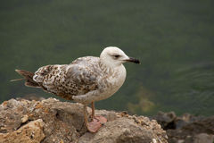 On the Rocks. Young seagull standing on rocks and looking green waters Royalty Free Stock Photo