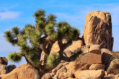 Rocks Yucca Brevifolia Joshua Tree National Park Stock Photography