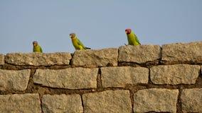 Rockstars - mâle et femelle de perruche dirigés par prune photos libres de droits