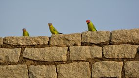 Rockstars - Plum headed parakeet Male and Female royalty free stock photos