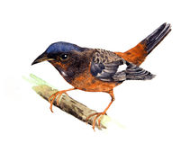 Rockthrush Blanco-throated Libre Illustration