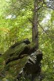 rocktree Arkivfoto