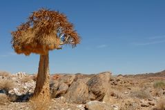 Lone quiver tree with bird nest in rocky landscape and blue african sky Royalty Free Stock Photo
