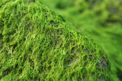 Rocky Algae. Close up of Rocky Algae Stock Images